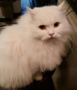 White Persian cat staring into camera, showing his golden eyes